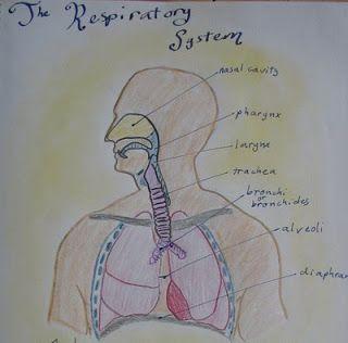 Waldorf ~ 7th grade ~ Human Physiology ~ Respiratory System