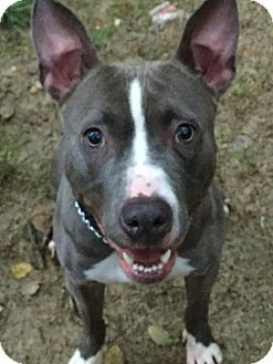 Columbia Md American Bulldog Mix Meet Betty Boop A Dog For