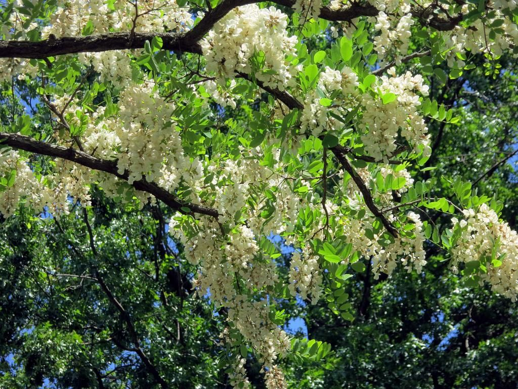 Black Locust Tree Could Look Good With Wisteria On Masse Plants