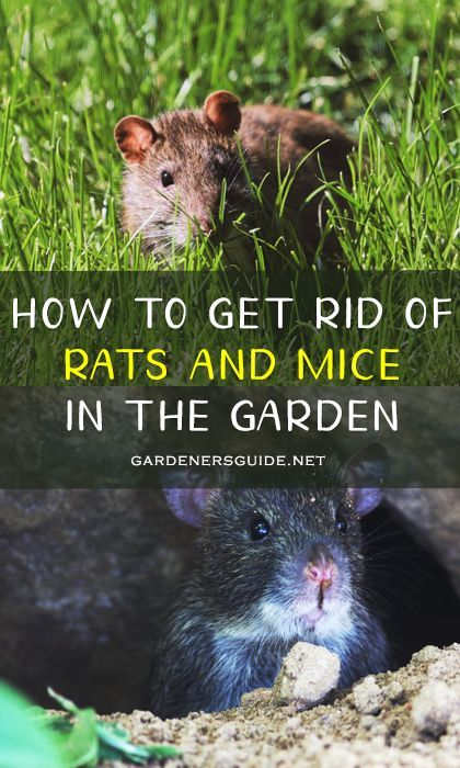 How To Get Rid Of Rats And Mice In The Garden In 2020