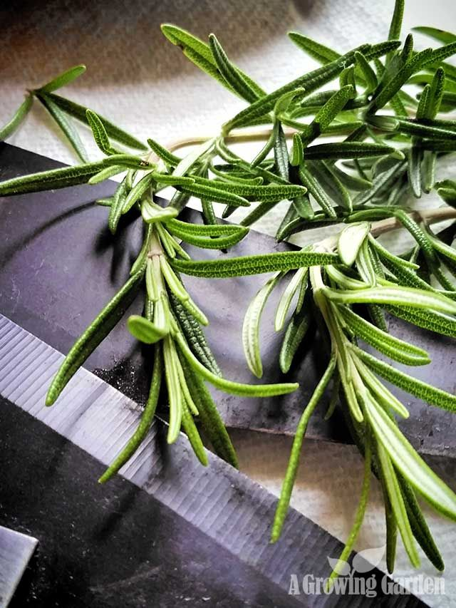 Photo of Growing rosemary from cuttings – bear scout activity