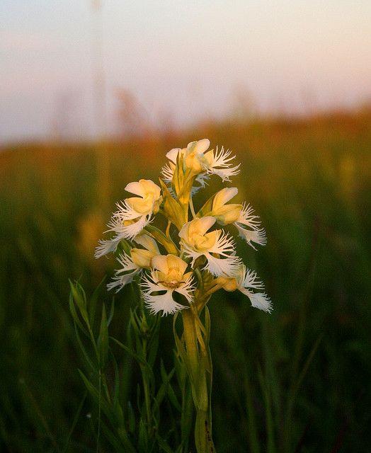 Western Prairie Fringed Orchid
