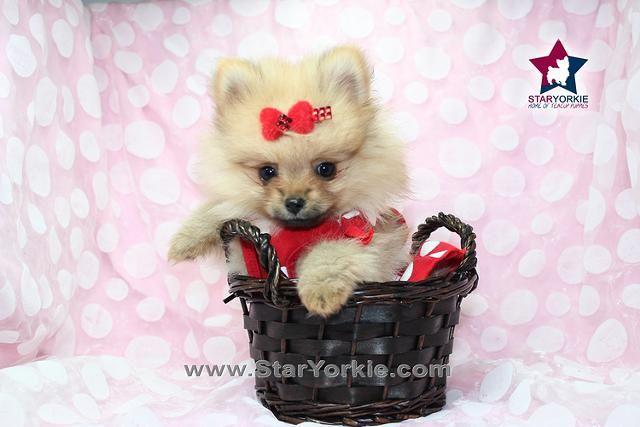 Teacup Pomeranian Puppy For Sale In Georgia Pomeranian Puppy
