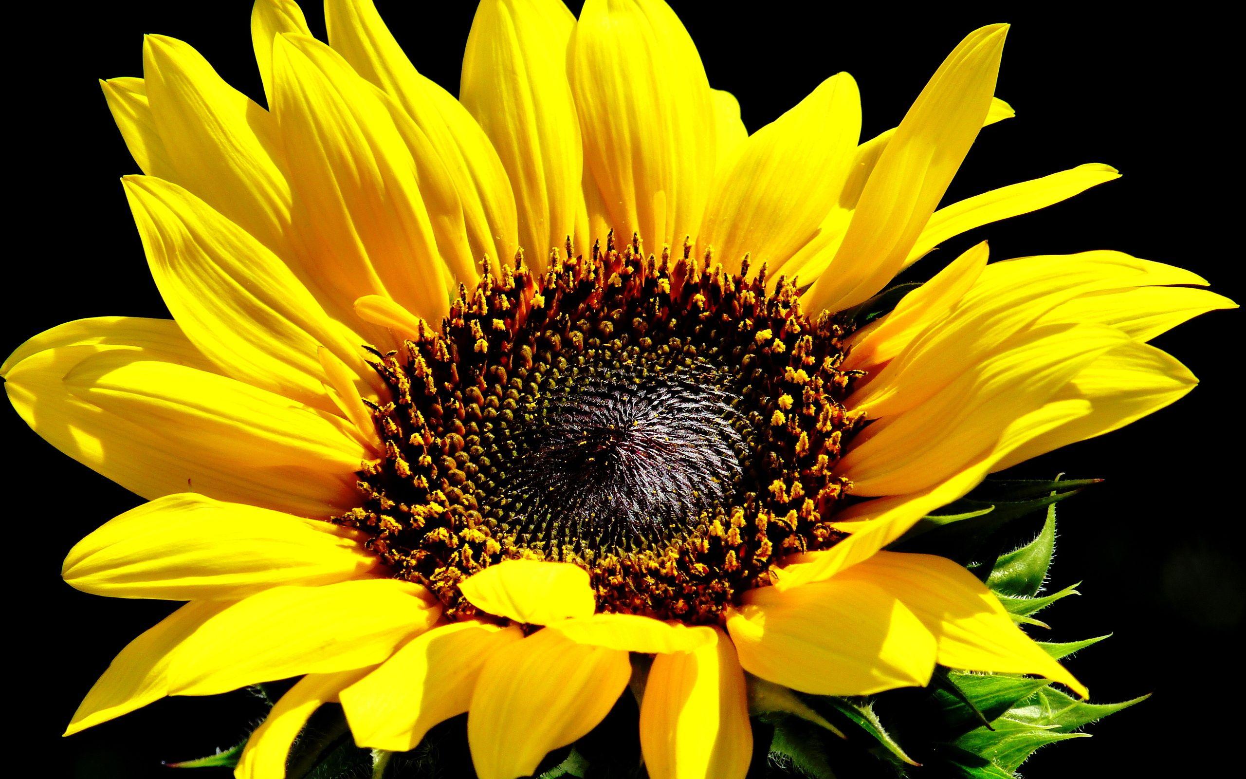 423703 Jpg 2560 1600 Sunflower Photography Sunflower Images Sunflower Wallpaper