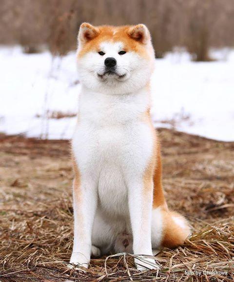 Akita Inu Akita Dog Japanese Dogs Akita Dog Shiba Inu