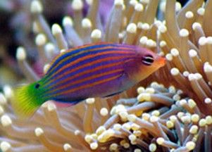 Six Line Wrasse One Of My All Time Favorite Fish So Interesting Saltwater Aquarium Fish Reef Safe Fish Saltwater Aquarium