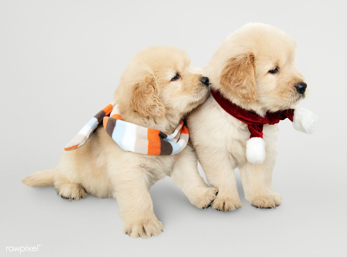 Download Premium Psd Of Two Golden Retriever Puppies Wearing