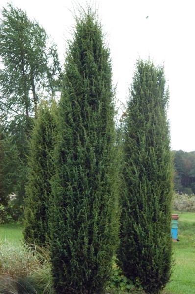 juniperus communis 39 hibernica 39 google paie ka spygliuo iai kolonos formos pinterest. Black Bedroom Furniture Sets. Home Design Ideas