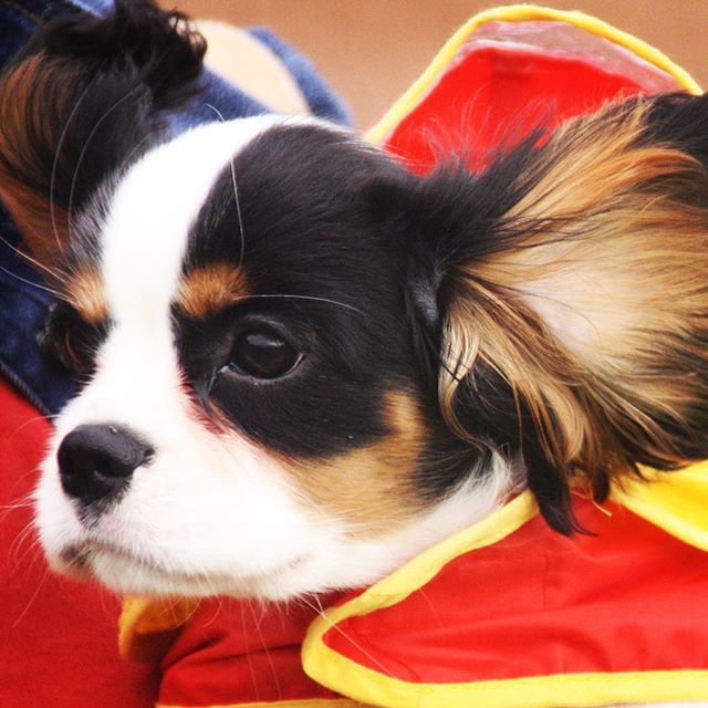 Dartanan Windy With Images Cavalier King Charles Spaniel King Charles Puppy King Charles Spaniel