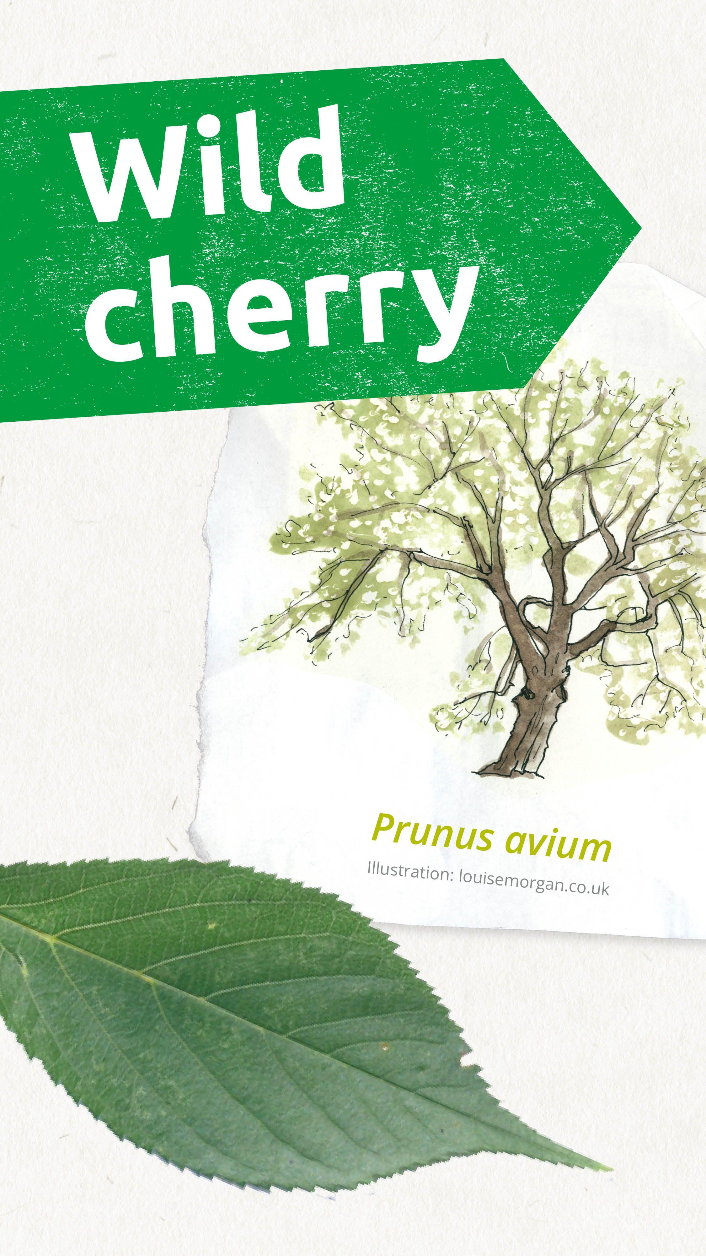 Learning About Wild Cherry Trees English Oak Tree Cherry Tree Tree