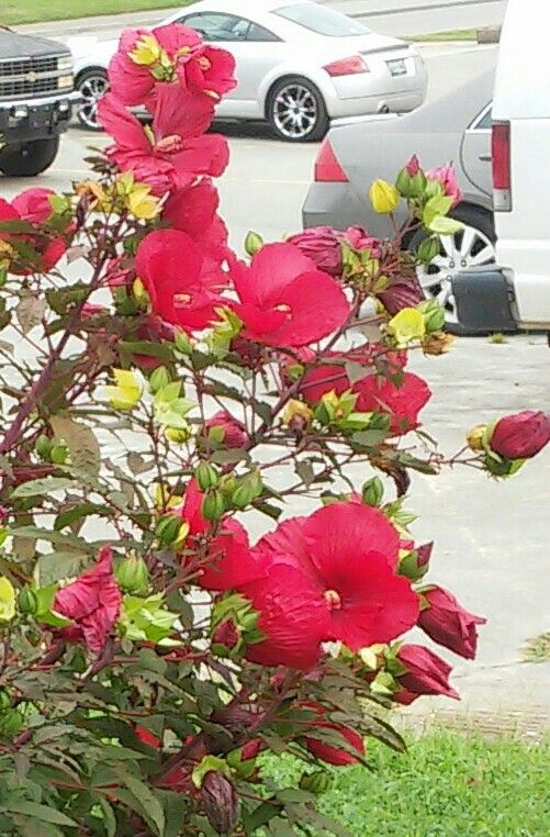 red hibiscus.  maryville tn