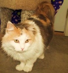 Madison Is An Adoptable Domestic Medium Hair Cat In Casper Wy Date Of Birth 10 19 08 Madison Is An Amazing Girl She Is Shy And Quie Cats Calico Cat Animals