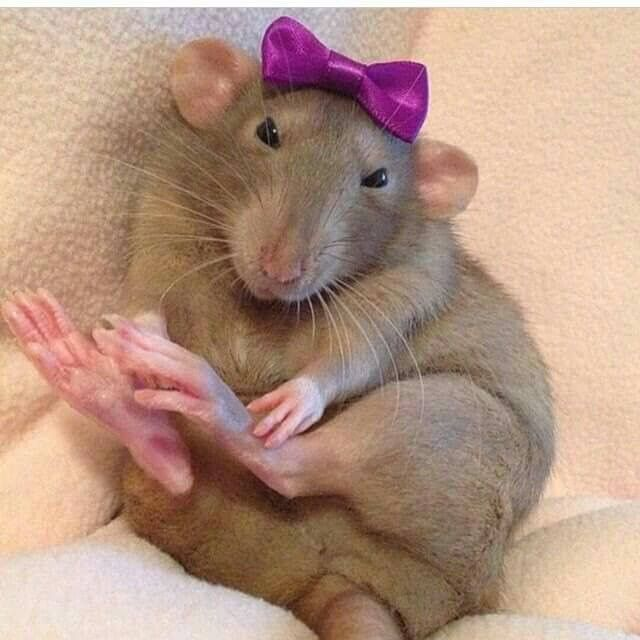 Lil ratty girl being all fem! | pet rats | Pinterest ...