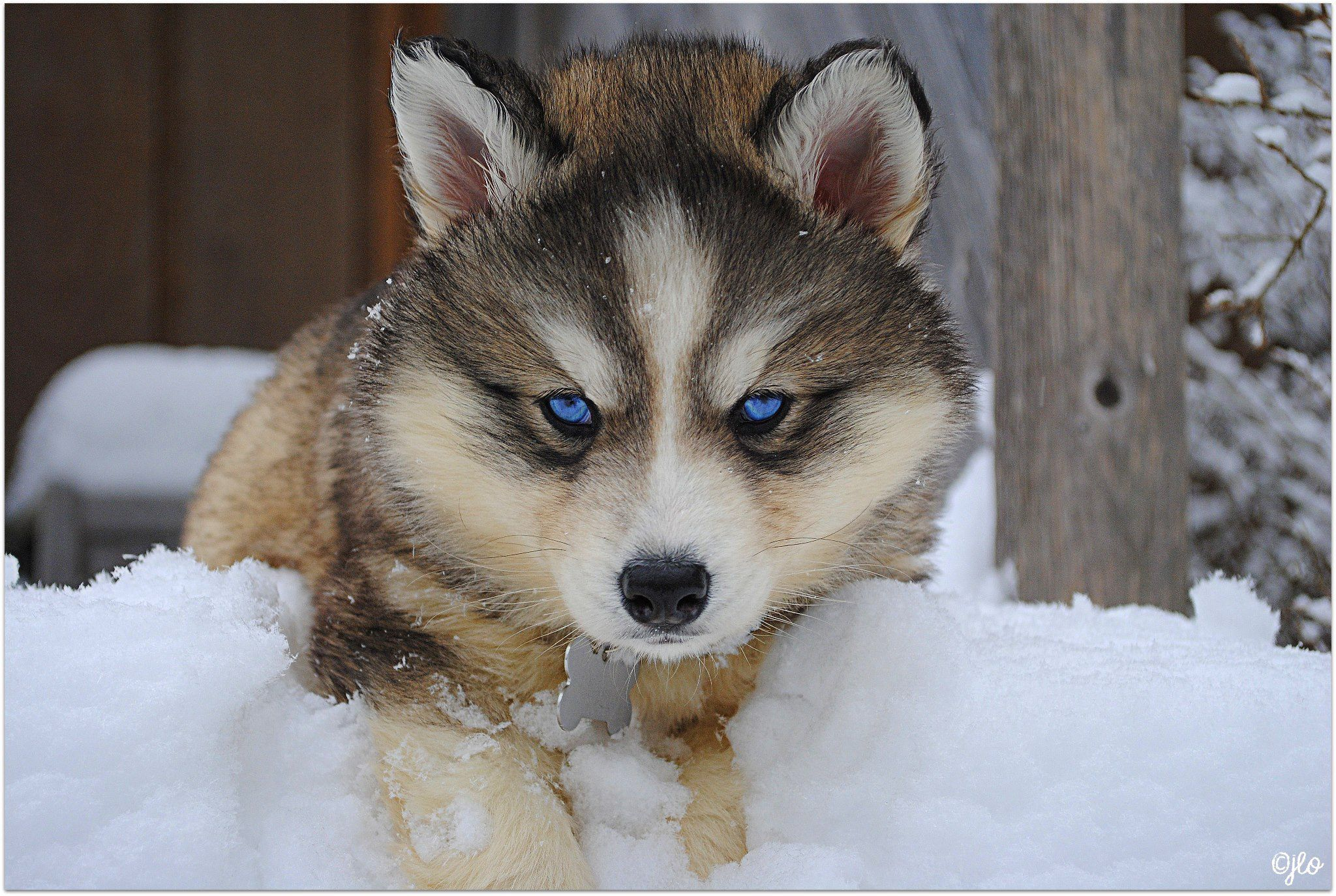siberian+husky | Posts related to Siberian Husky Facts, Siberian ... | Siberian Husky Mix With Wolf