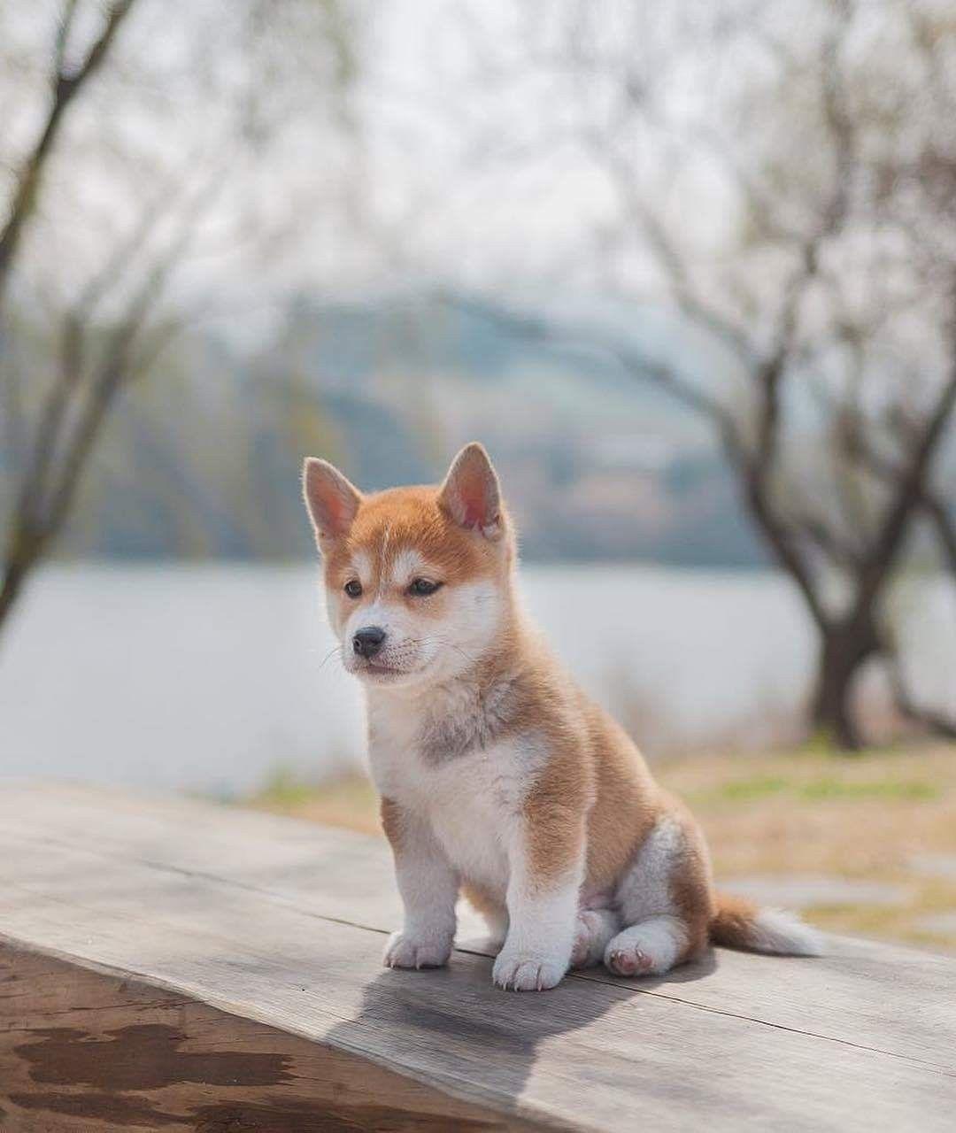 Pin Von Barbara Rathmanner Auf Shiba Dogs Hunde Haustiere Susse Tiere