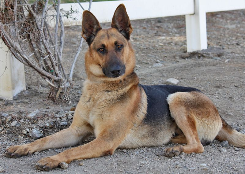 Ajax Von Amberg Is A Gorgeous 4 Year Old Classic German Shepherd