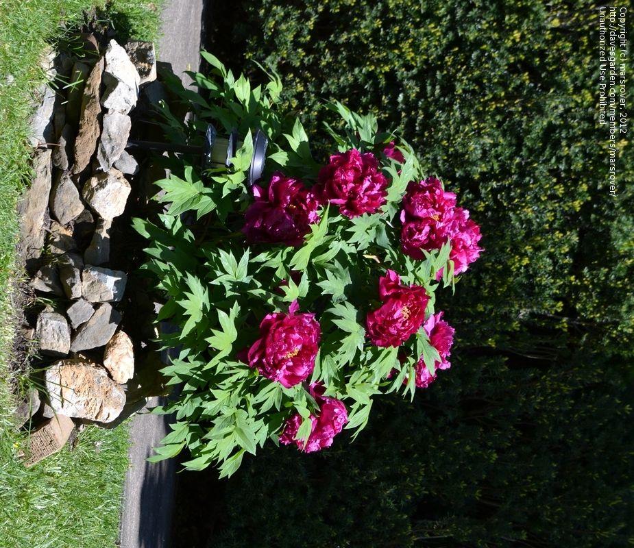 Perennial Peony Roots Paeonia Suffruticosa Peonies Bicolor Flower Stunning Plant