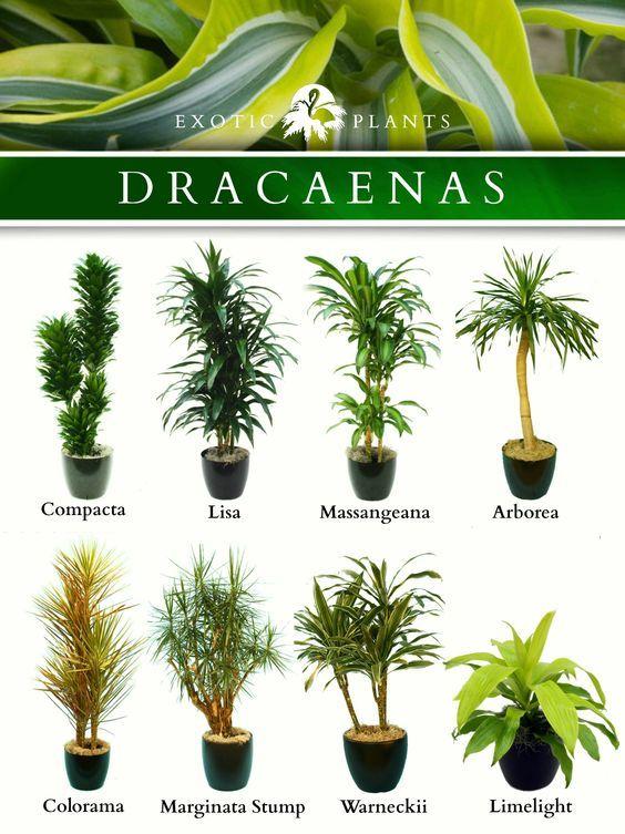 Latin Name Dracaenas Common Name Bamboo Plant Corn