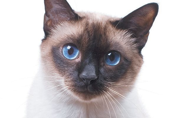 Related image Cat breeds with pictures, Siamese cats
