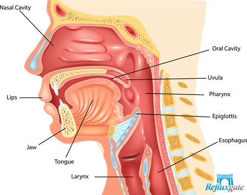Do You Suspect To Have Lpr Here Are 10 Symptoms You Might Show Human Digestive System Throat Anatomy Digestive System