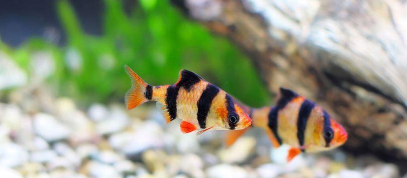 Tiger Barb Fish Aquarium Fish Tiger Fish Tropical Freshwater Fish