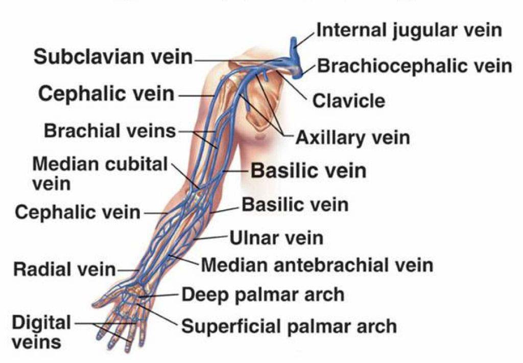 Venous Supply of upper limb | PT School | Pinterest