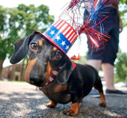Patriotic Doxie Patriotic Pets Weiner Dog Dachshund