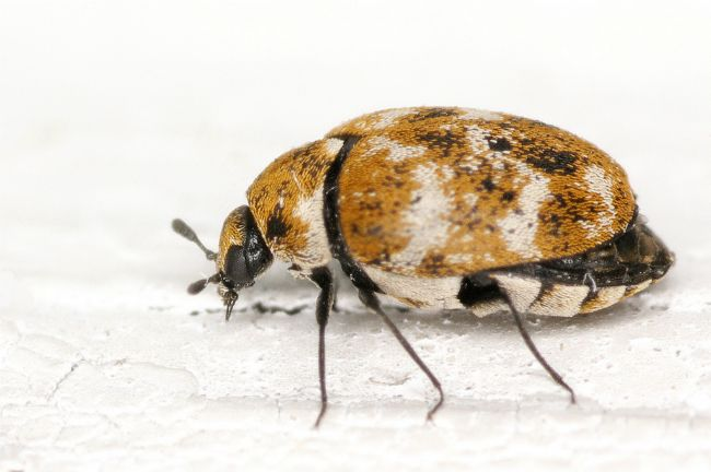 How To Get Rid Of Carpet Beetles Carpet Bugs Natural Carpet Cleaning How To Clean Carpet