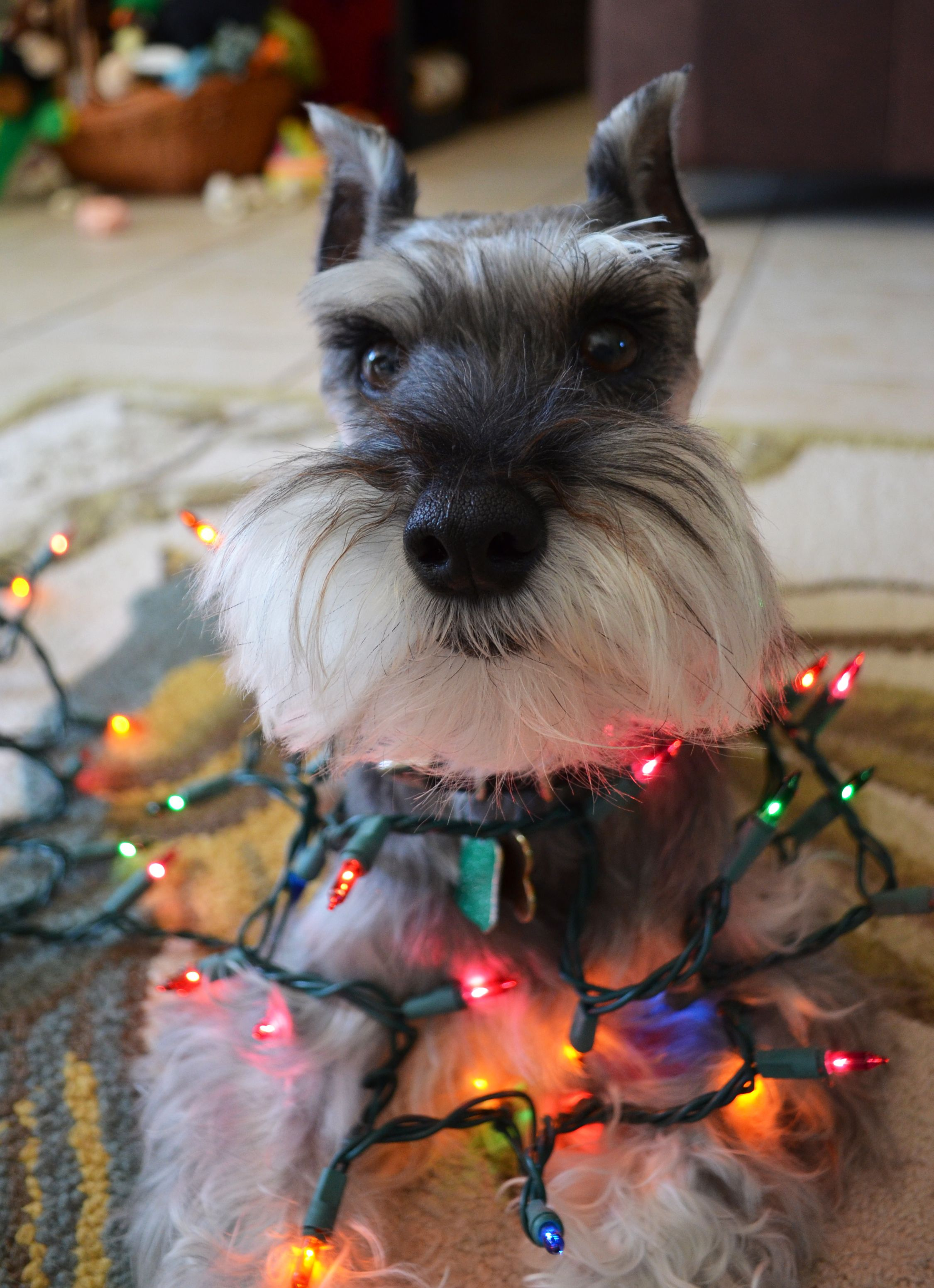 A Little Mini Schnauzer Dressed Up In Christmas Lights Absolutely Adroable Terrier Dog Breeds Miniature Schnauzer Schnauzer