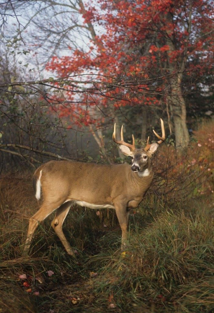 Spike Buck to Booner The Magic of Age Deer hunter's