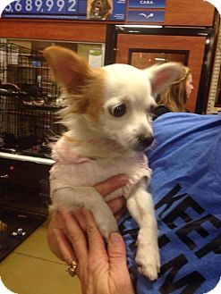 Prairieville La Chihuahua Mix Meet Coco A Dog For Adoption