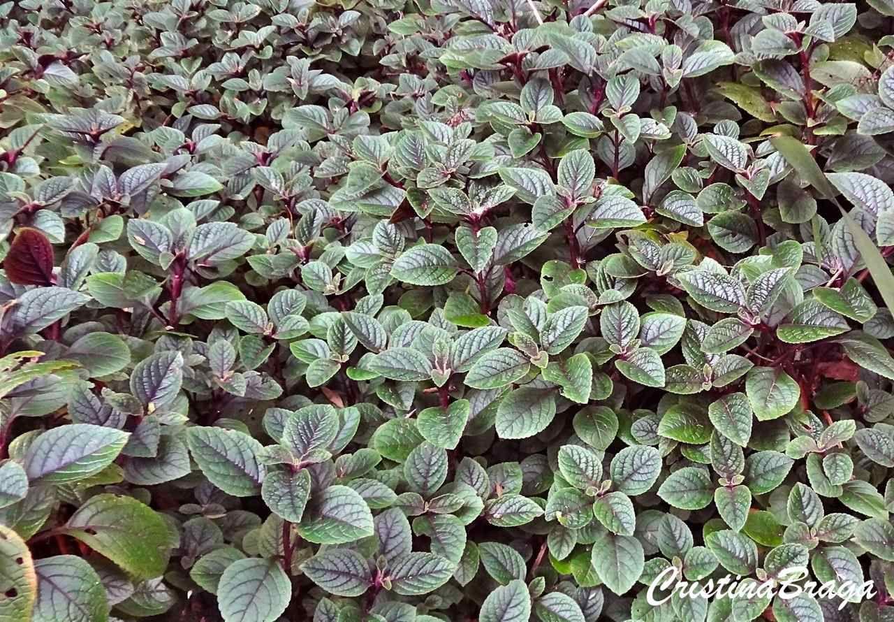 Hera Roxa Hemigraphis Colorata Plantas De Paisagismo Perenes