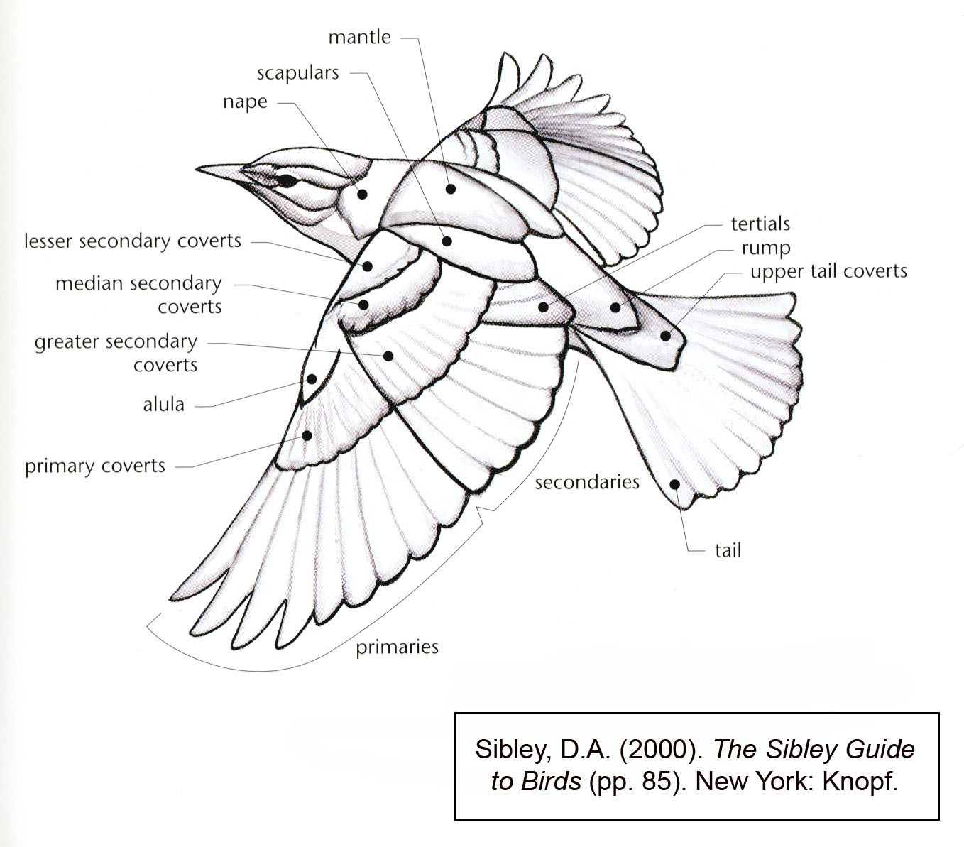 Bird Wing Diagram | You Never Know What You'll Learn | Pinterest ...