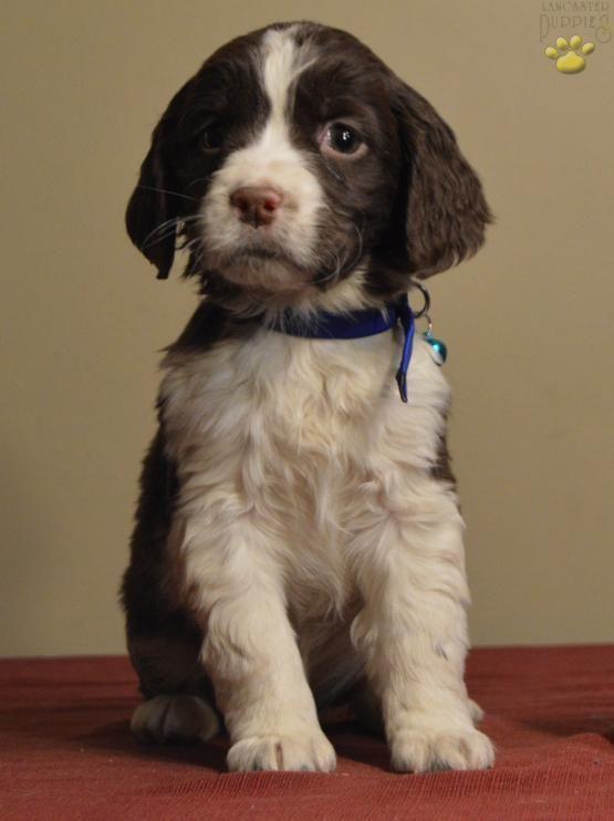 English Springer Spaniel Puppies Pa : english, springer, spaniel, puppies, English, Springer, Spaniel, Puppies, Lancaster, Sale,, Puppies,