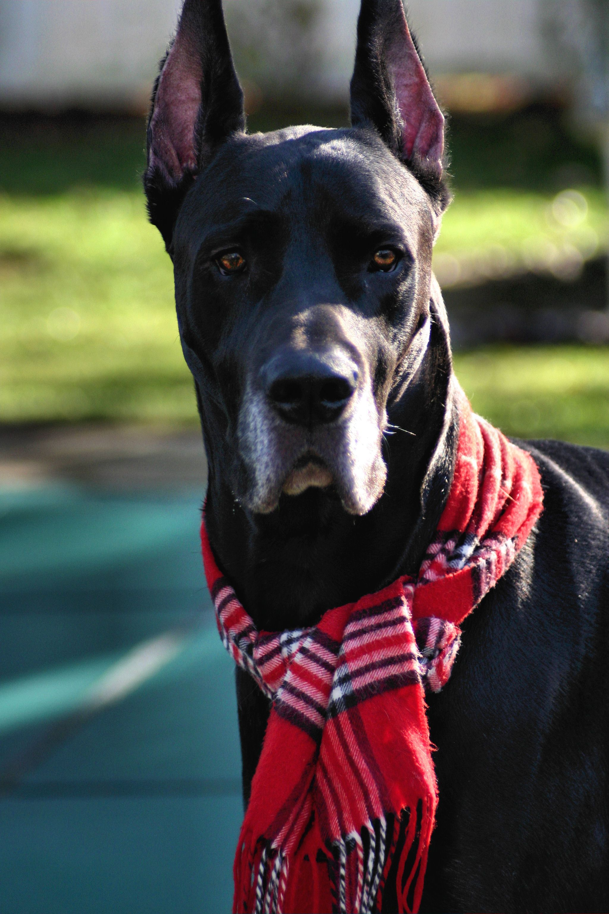 My Great Dane Will Have Many Scarves And Dc Comic Capes To Choose