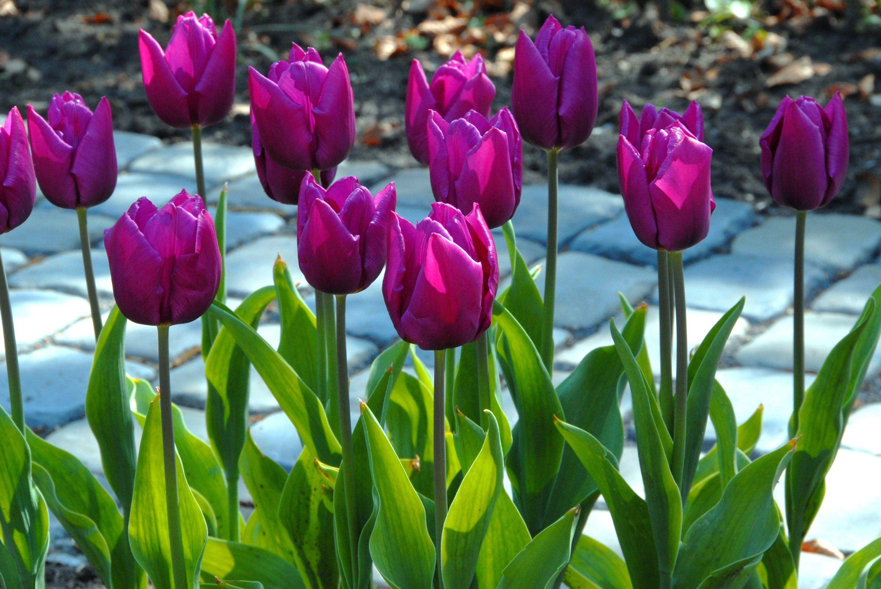 969c62276eaa5e2099cacda21542fc2e - Tulip Top Gardens 2019 Tulip Top Gardens 5 October