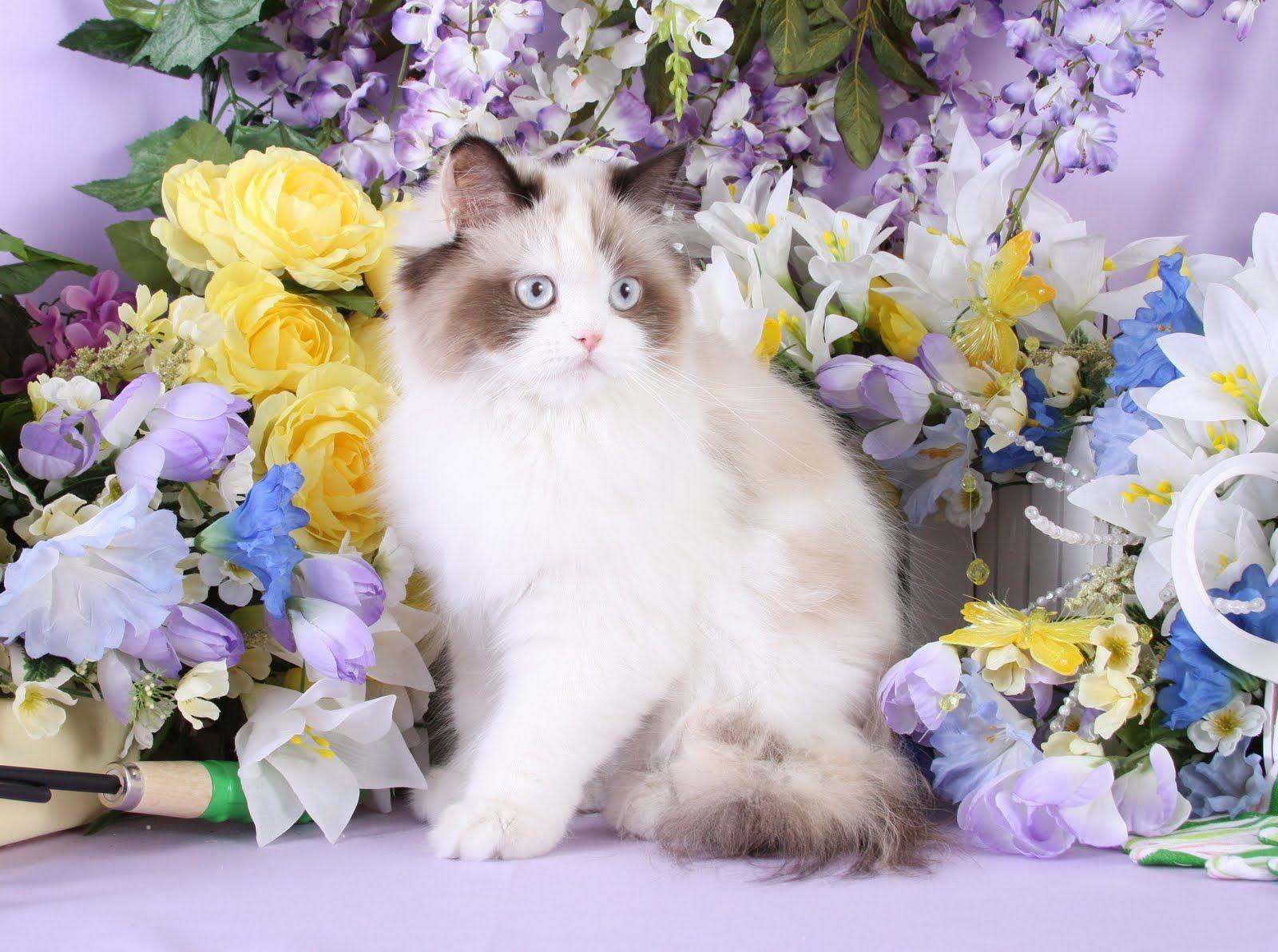 Himalayan Kittens For Sale Himalayan kitten, Spring