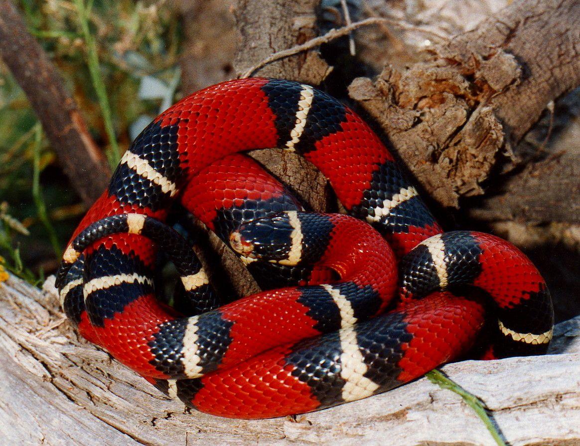 Milk Snake Milk Snake Snake Lovers Snake