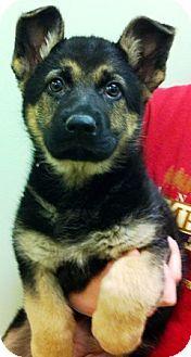 Oswego Il German Shepherd Dog Meet Morgan A Puppy For Adoption