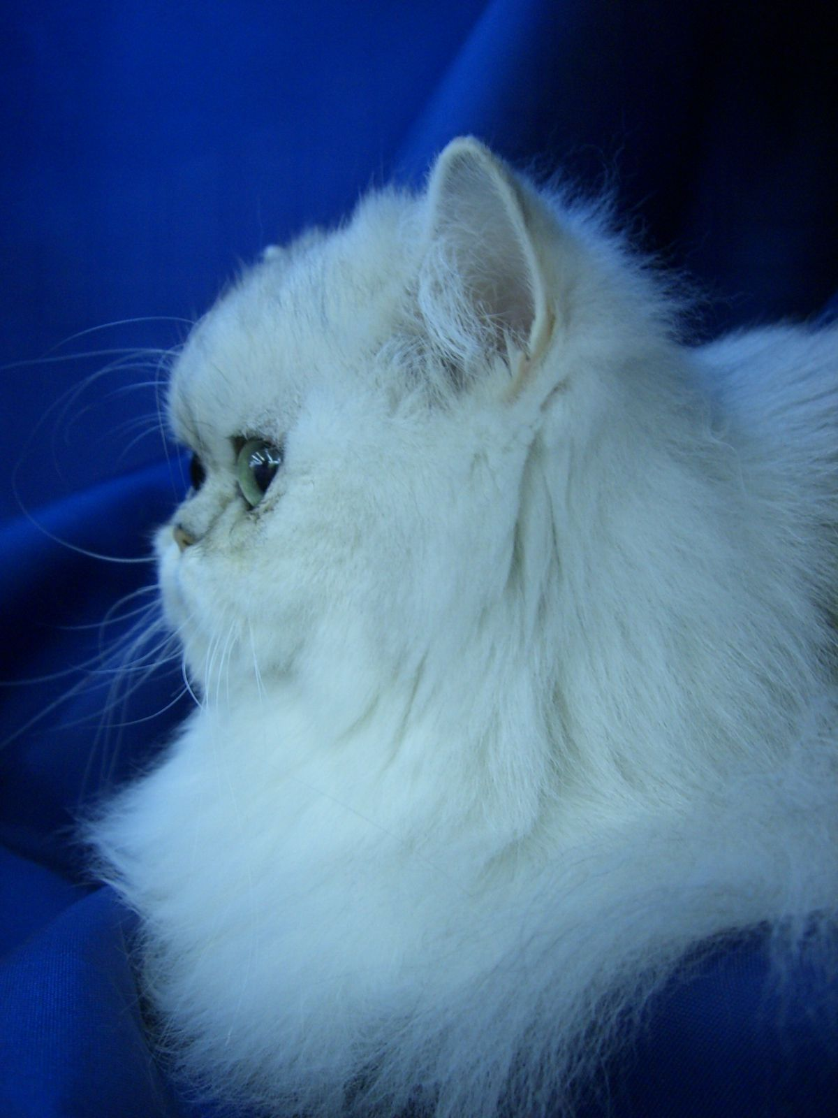 Shaded Silver Persian Looks Like My Oliver Persainkittens Persian Cat Cat Profile Cat Breeds