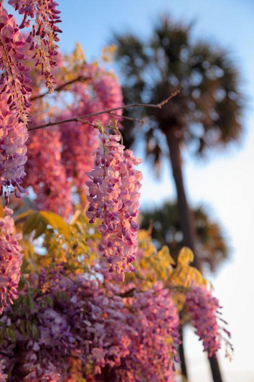 Plum Pretty Sugar Palmetto Tree Flowering Trees Wisteria