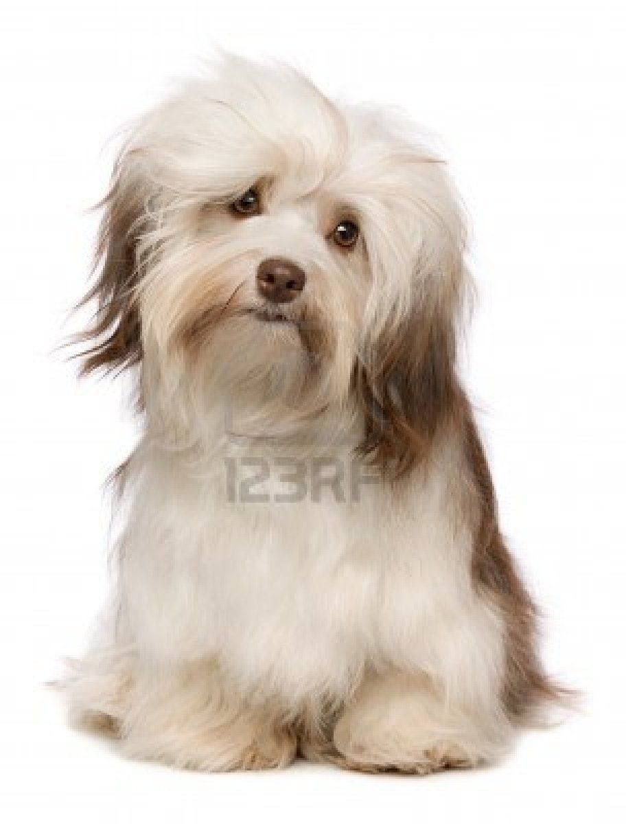 Stock Photo Havanese Dogs Havanese Havanese Puppies