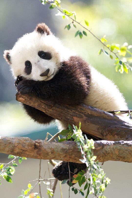 Twitter Niedlicher Panda Susse Tiere Bilder Tiere
