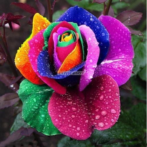 500 Ramana Rose Samen Saatgut Seeds Blau Rot Lila Rosa Schwarz