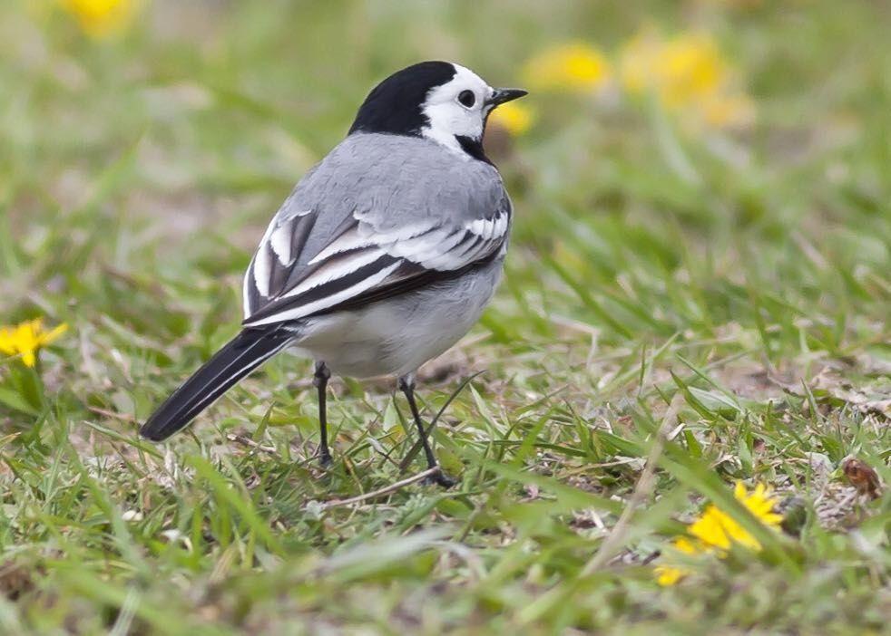 Den lilla Sädesärlan är den fågel jag mest av allt förknippar med myggrika sommarkvällar i Småland. Då är den en riktigt skicklig myggjagare. Wagtail. Moticillaalba. #sädesärla #wagtail #moticillaalba #birdimages #nuts_about_birds #your_best_birds #ig_myshot #birdphotography #birdphoto #swedishnature #ig_discover_birdslife #birdfreaks #ig_sweden #ornithology #naturfoto #natur #svensknatur #photoarena_nature #wildlifeplanet #wildlifeaddicts #feather_perfection #birdwatching #wildlifeonearth…