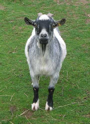 OK - I am just a goat, so what?   Creeps Me Out   Goats
