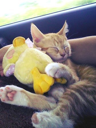 16 Newly Adopted Kittens On The Ride Home From The Shelter Sleeping Kitten Kittens Kittens Cutest