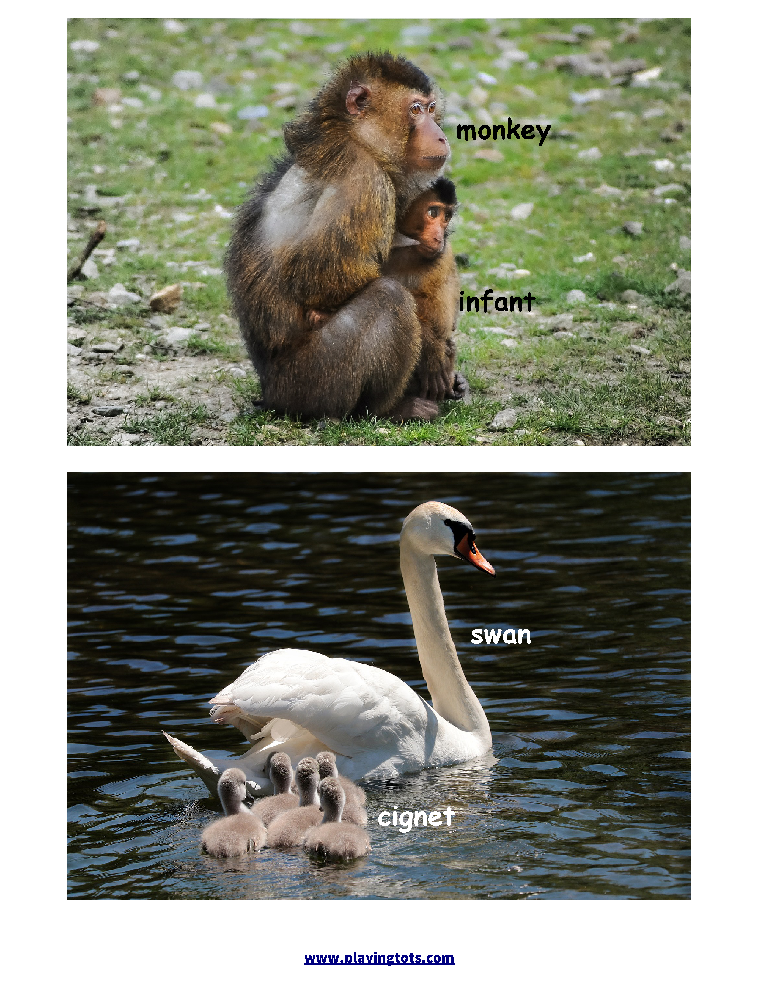 Animals And Their Babies Flashcards