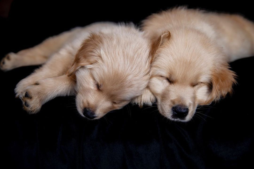 I Got To Photography Two Of The Cutest 9 Week Old Golden Retriever