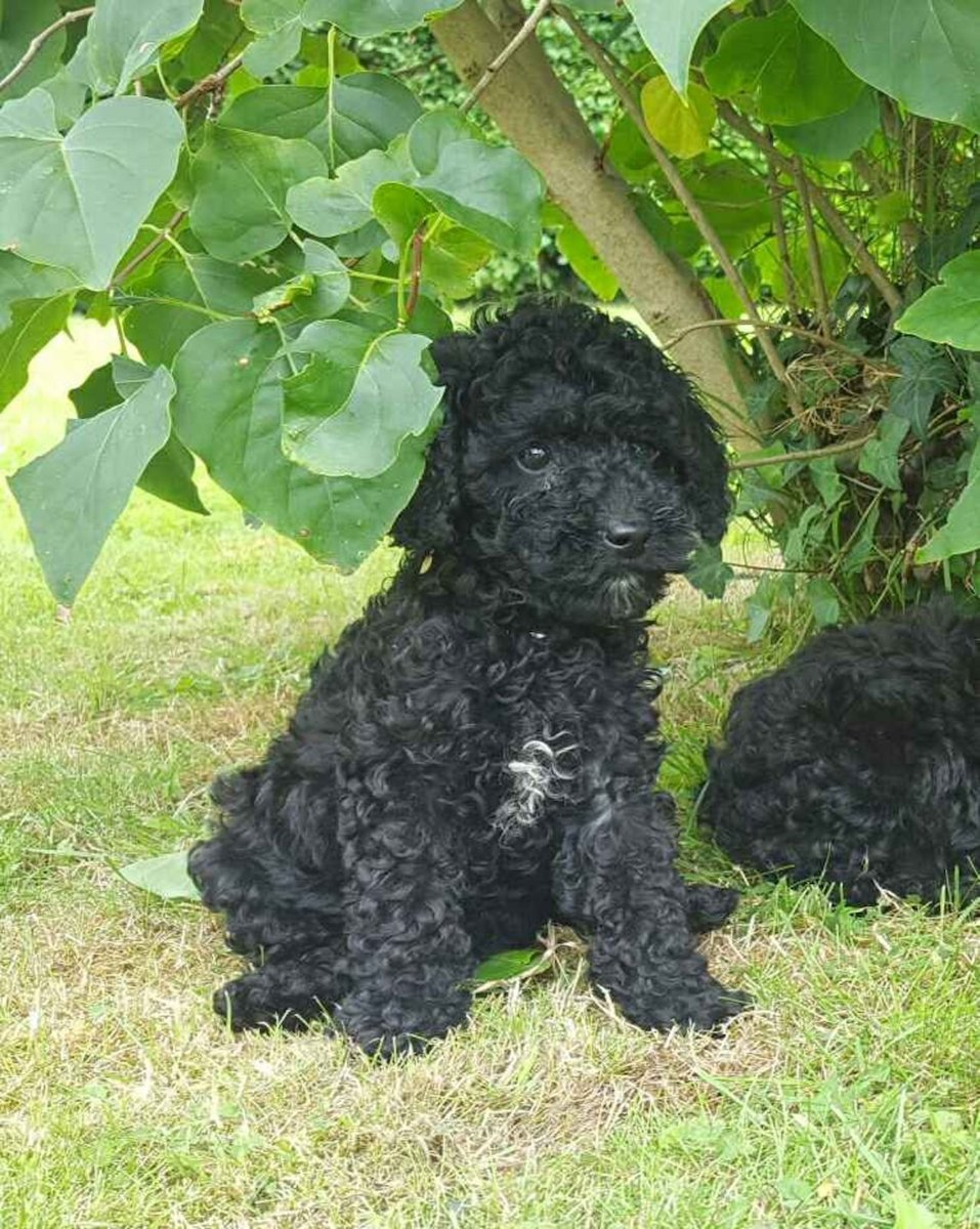 Stunning Cockapoo Pups For Sale In Sligo On Donedeal Cockapoo Puppies For Sale Dogs For Sale Puppies For Sale